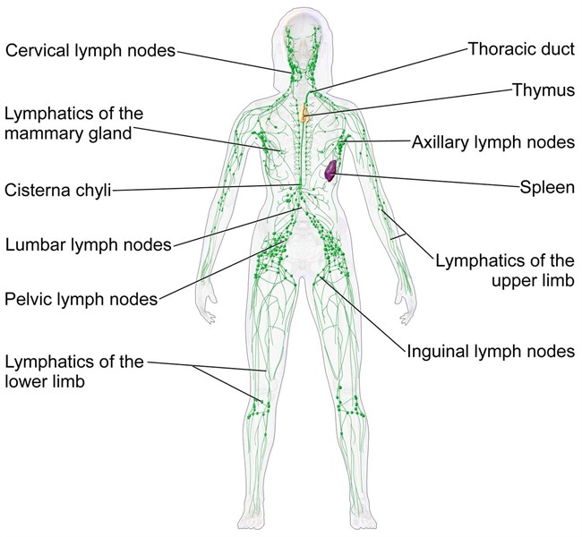 Blausen 0623 Lymphaticsystem Female